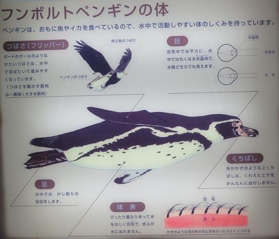 大洗水族館 フンボルトペンギン