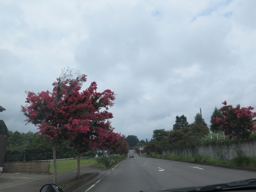 百日紅の道