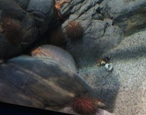 オオコシオリエビとダイオウグソクムシ