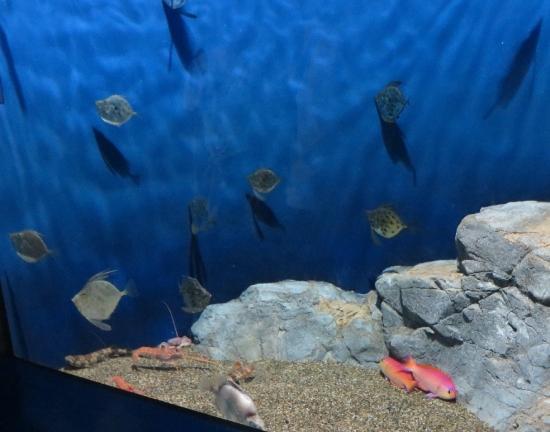 大洗水族館 カガミダイ シキシマハナダイ、アカザエビ、イズハナトラザメ