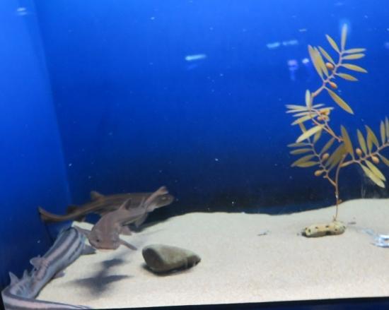 大洗水族館 南アフリカ沿岸のサメたち