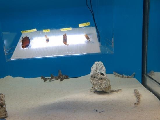 大洗水族館 サメの子供たち