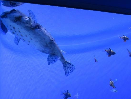 アクアワールド大洗 インド洋 イシガキフグ