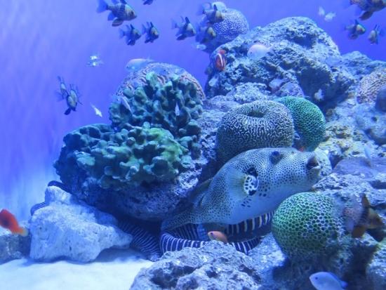 アクアワールド大洗 珊瑚礁の砂地 ゼブラウツボ、モヨウフグ
