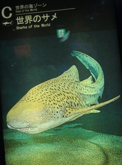 アクアワールド大洗 トラフザメ