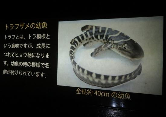 アクアワールド大洗 トラフザメの幼魚