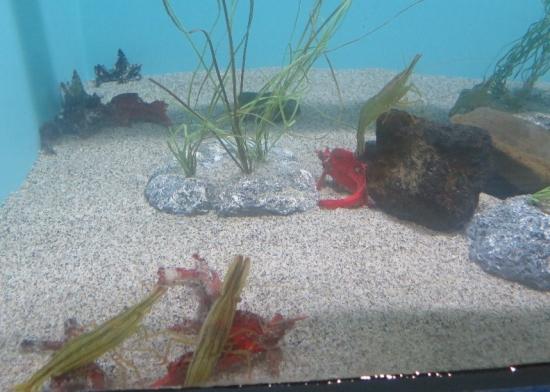 アクアワールド大洗 オホーツクの海 アツモリウオ、ホッカイエビ
