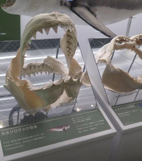 アクアワールド大洗 ホホジロザメ