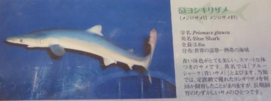 大洗水族館 ヨシキリザメ