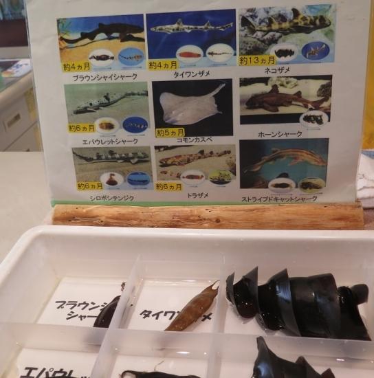 大洗水族館 サメの卵殻