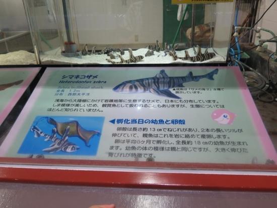 大洗水族館 シマネコザメ