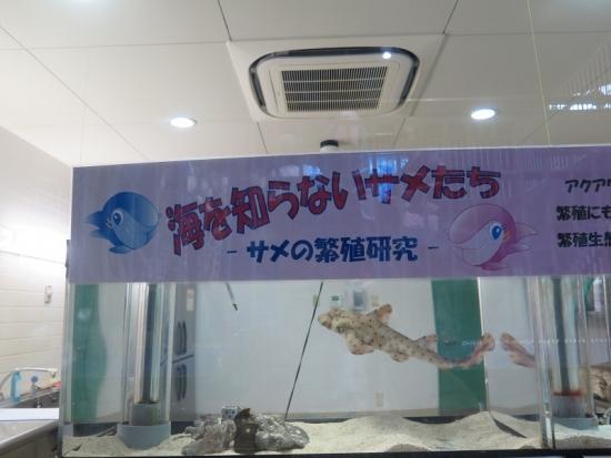 大洗水族館 ホーンシャーク