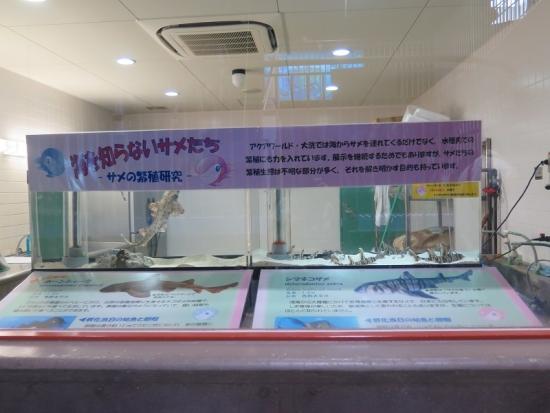 大洗水族館 サメの繁殖研究