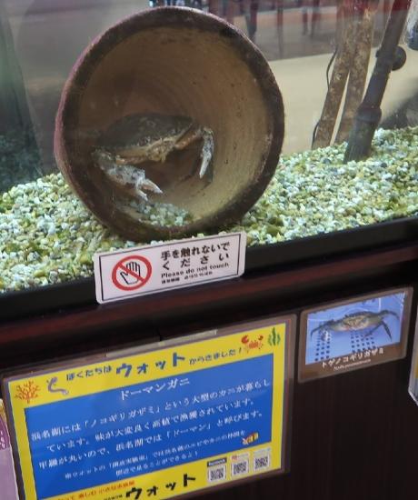 ドーマン蟹