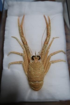 オオコシオリエビ標本