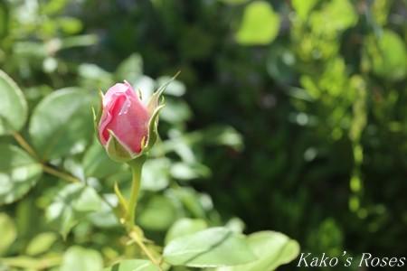s-IMG_3500kako.jpg