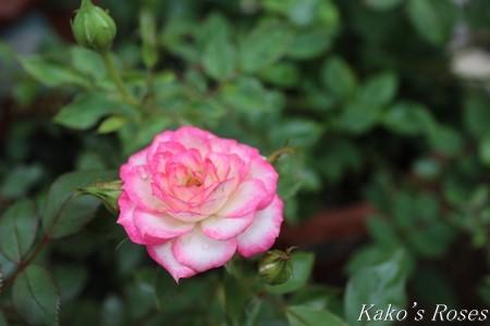 s-IMG_3540kako.jpg