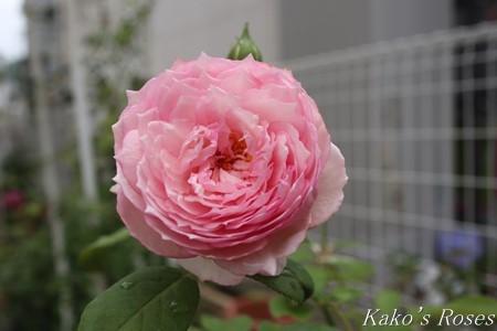 s-IMG_3631kako.jpg