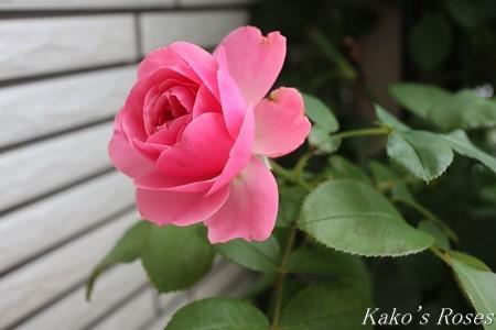 s-IMG_3703kako.jpg