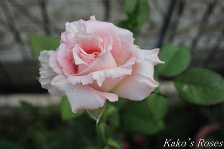 s-IMG_3804kako.jpg