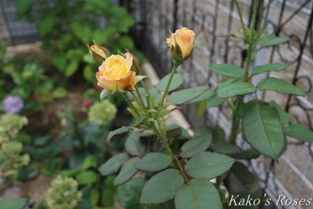 s-IMG_3819kako.jpg