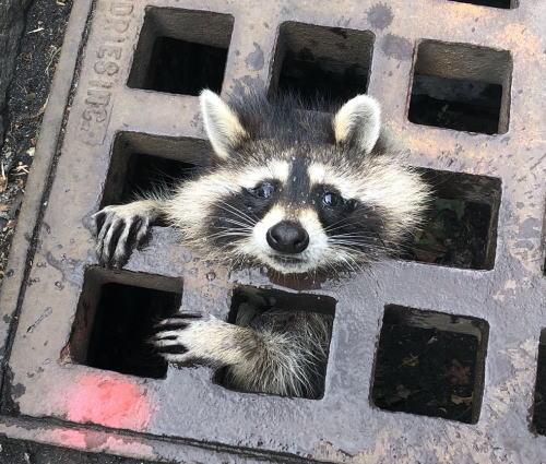 [韓国の反応]米国マサチューセッツ州排水口にはまったアライグマ、ネットで人気者に「文在寅も逃げることが出来ないようにここに挟み込もう」