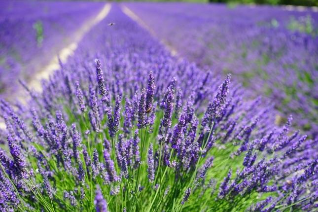 lavender-cultivation-2138398_1280.jpg