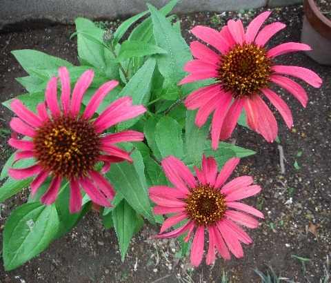 Echinacea_Sun_Seekers_Red1-2019.jpg
