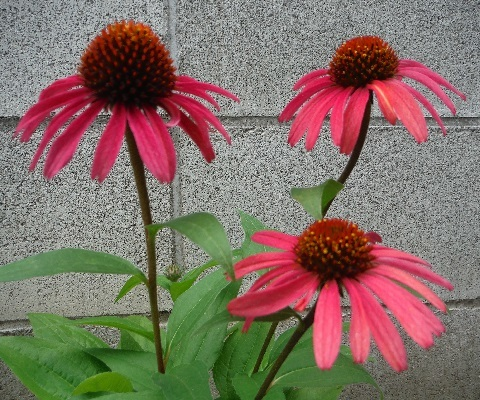 Echinacea_Sun_Seekers_Red6-2019.jpg
