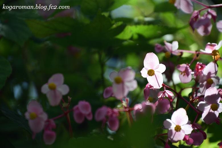 出流ふれあいの森の秋海棠