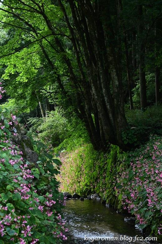 出流ふれあいの森の秋海棠5