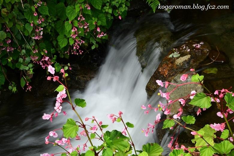 出流ふれあいの森の秋海棠6