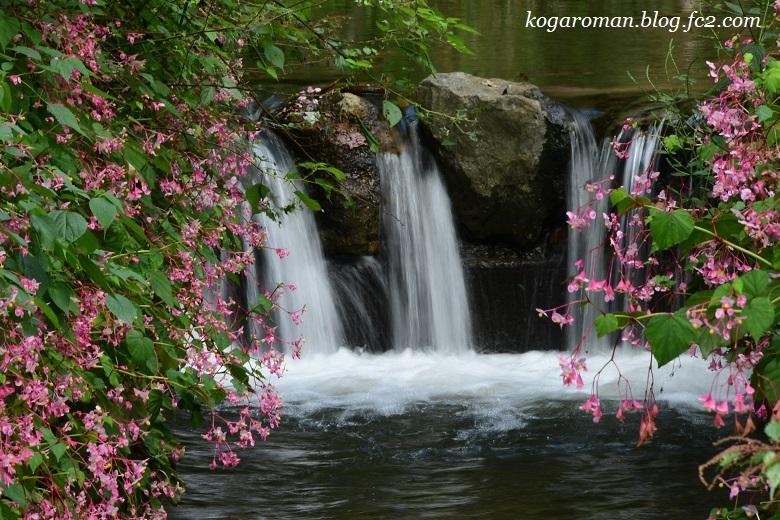 出流ふれあいの森の秋海棠7