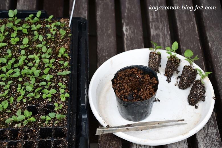 よく咲くスミレ種まき日記(6)