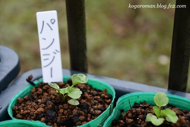 よく咲くスミレ種まき日記(6)5