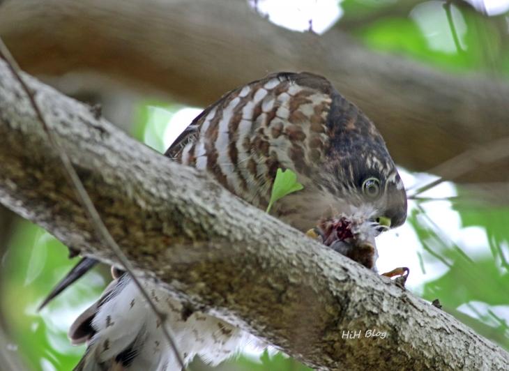10_親から貰った餌を啄む幼鳥