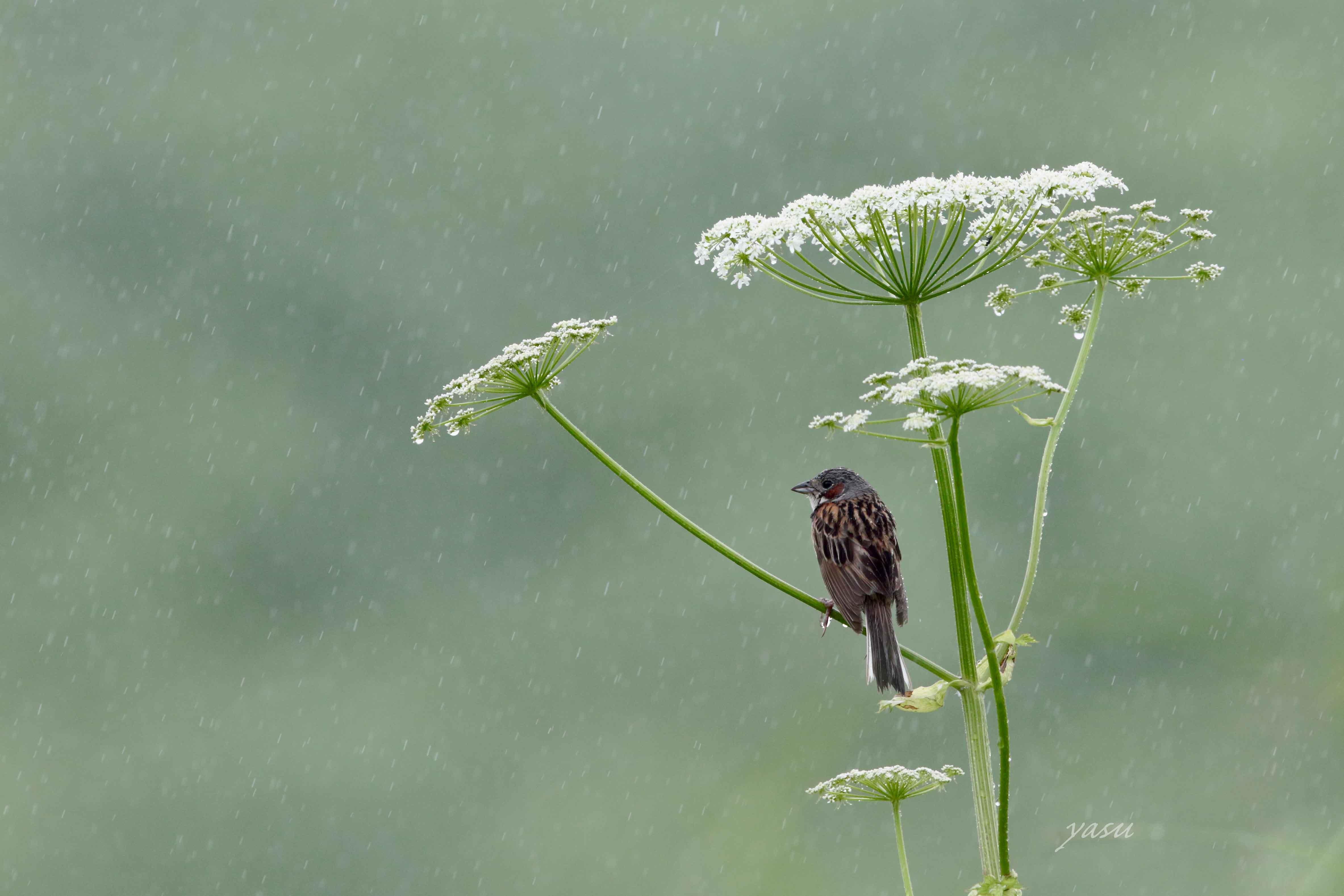 花ウド雨ほおあかy