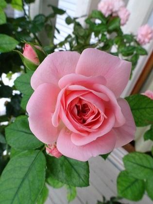 春ちゃんのバラ