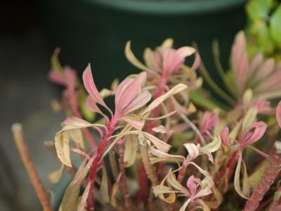 Euphorbia x martinii