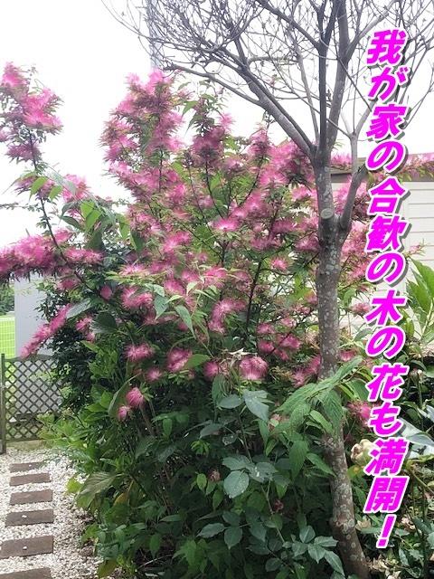 ねむの木花も満開