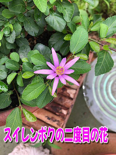 スイレンボクの二度目の花