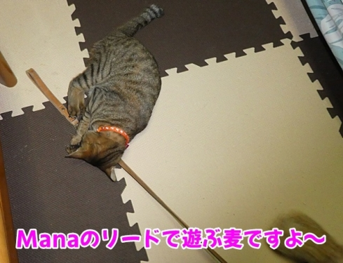 Manaのリードで遊ぶ麦
