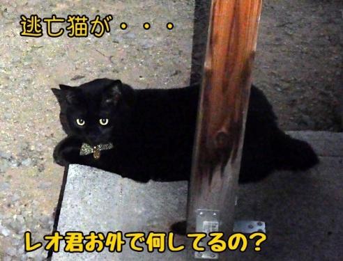 逃亡猫のレオ