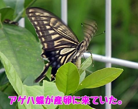 アゲハ蝶が産卵に