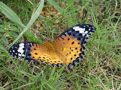蝶の産卵でしょうか