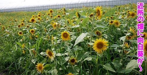ご近所の畑に向日葵が