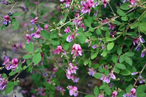 可愛い萩の花