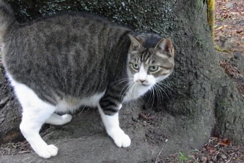 小田原城址公園の猫