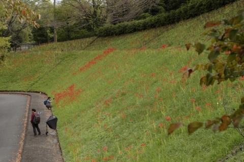 開花が遅れている南足柄運動公園の彼岸花