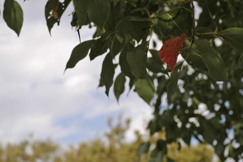 1枚だけ紅葉した木